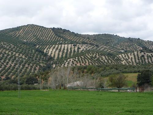 Streckenfoto Olivenhaine