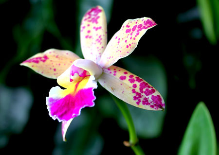 Laeliocattleya Tropical Pointer Cheetah