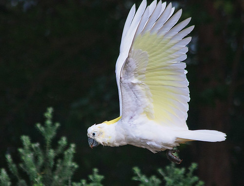 Cockatoo.