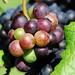 Grapes in Vineyard by Habub3