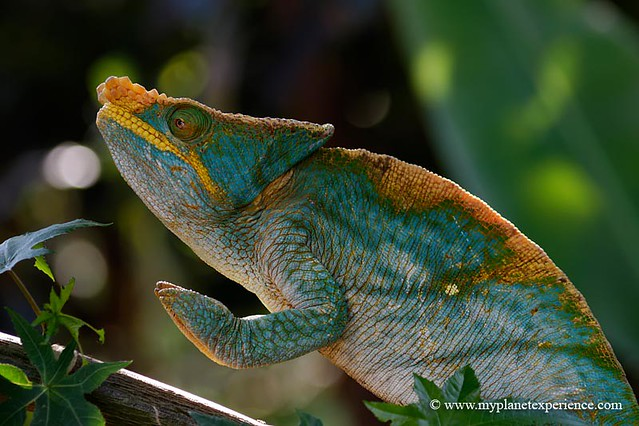 Madagascar - chameleon praying