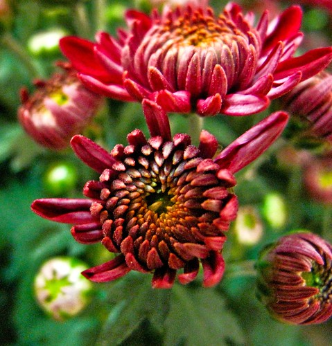 IMG_1516  Red Chrysanthemum ,红菊花
