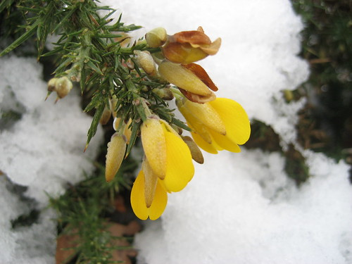 Gorse in the snow