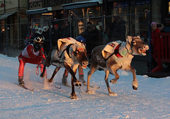 The reindeer can run up to 60 km/h
