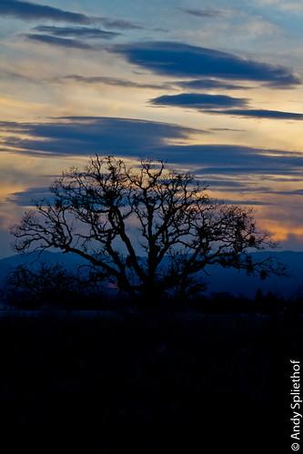 tree oregon oak historic majestic medford ancientoak