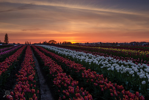 flowers sunset oregon spring nikon tulips blossoms woodenshoe woodburn 2014 willamettevalley d7000