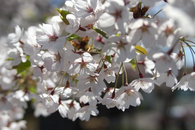 20160508宏楽園の桜_03