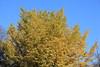 Photo:Ginkgo Tree / 銀杏(いちょう) By TANAKA Juuyoh (田中十洋)