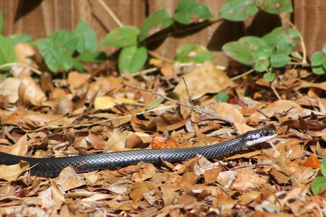 yard snake flickr photo sharing
