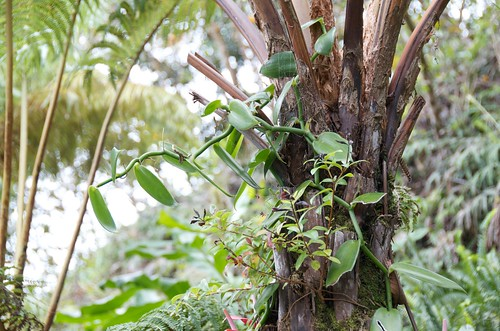 Vanilla (orchid) growing on a hapuu fern