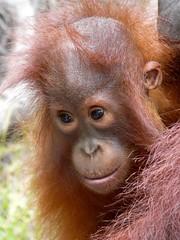 Petit orangutà