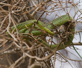 Boomslang or Tree Snake - Dispholidus typus
