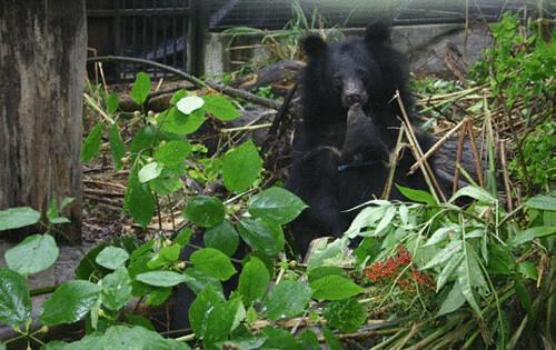 聞嗅母熊的嘴是小熊學習選食的途徑之一。(楊吉宗 攝)