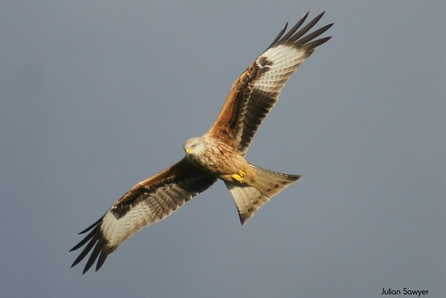 Flight Of A Purbeck Kite by julian sawyer