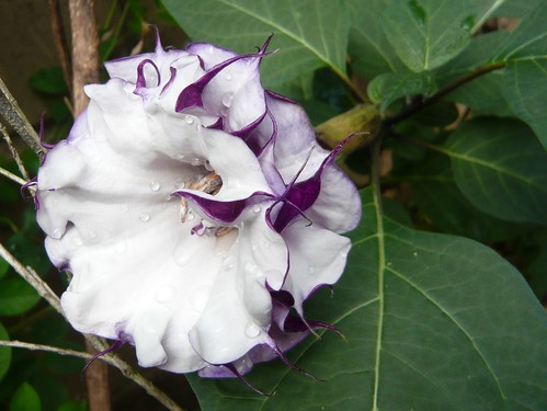 triple datura closeup