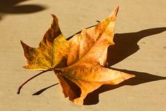 IMG_8223: Leaf in Winter