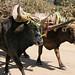 Yunta - Oxen; camino a los pueblos