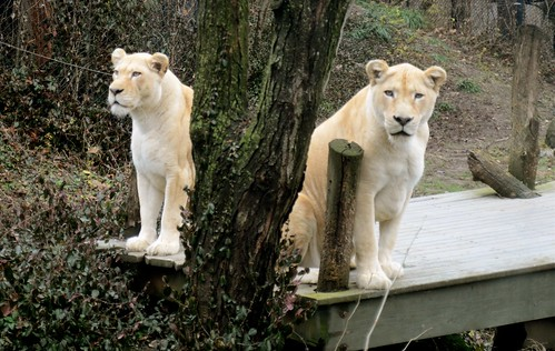 Lioness Bookends