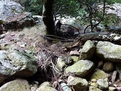 Suite du vieux sentier en amont de la brèche du Carciara : restes de câble métallique autour du tronc