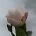 roos met kerst 03