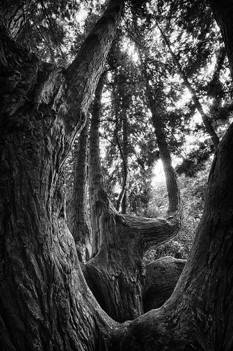 seattle park trees blackandwhite bw usa monochrome lines washington flora nikon branches curves sigma explore bark pacificnorthwest limbs volunteerpark 1020mm washingtonstate 1020 pnw emeraldcity hdr converginglines 2011 d90 explored sigma1020mmf456exdc nikond90 tronam gabrieltompkins