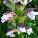 Small photo of Acanthus.