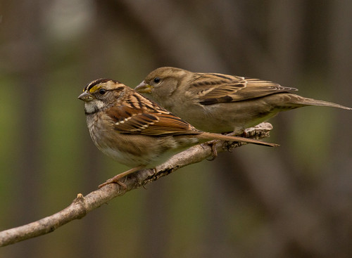 White-throated Sparrow, House Sparrow