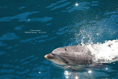 Dolphin at Milford Sound