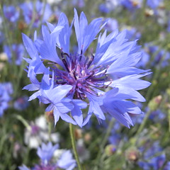 jasione montana(0.0), vegetable(0.0), india hyacinth(0.0), produce(0.0), food(0.0), flower(1.0), plant(1.0), herb(1.0), wildflower(1.0), flora(1.0), chicory(1.0),