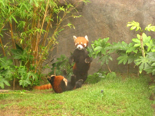 Ocean Park Red Pandas