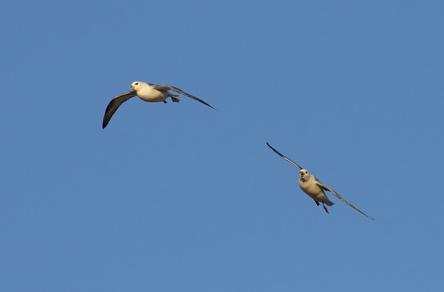 fulmars in blue sky