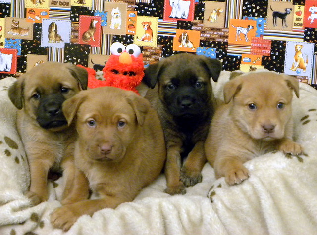 Boxer Shepherd Mix Puppies | Flickr - Photo Sharing!