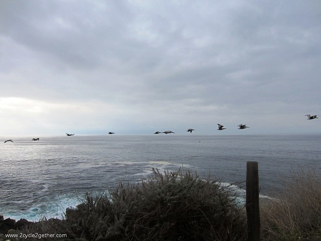 Pelicans, Hwy 1 Pacific Coast, Big Sur