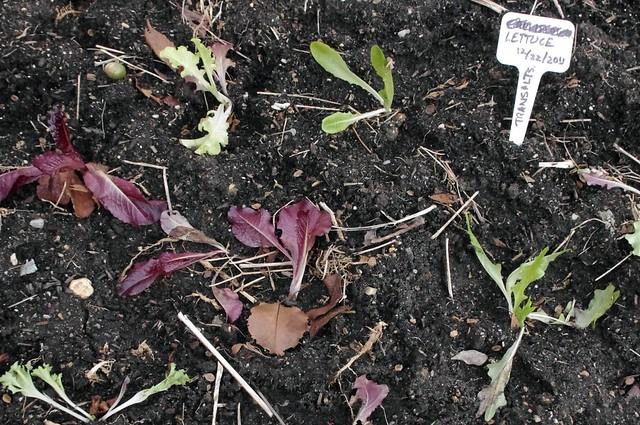 Little lettuces