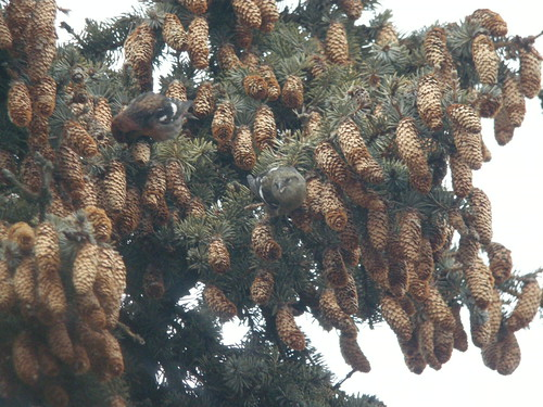 White-winged Crossbills, Elmwood Cemetery, Cedar Springs, MI, January 9, 2012