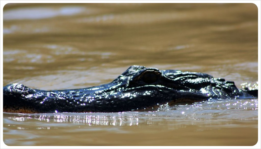 alligator in the river louisiana