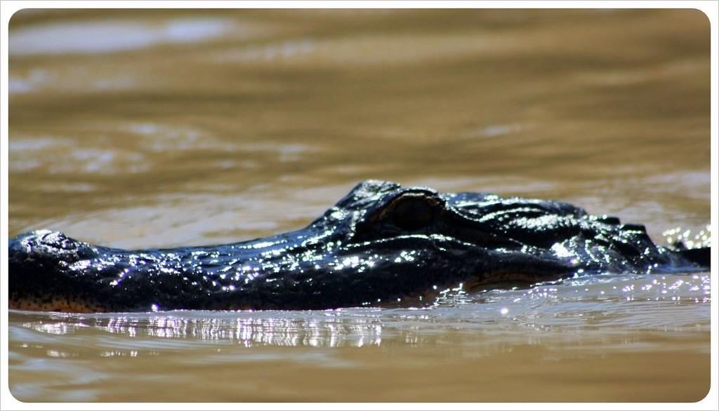 alligator in the river louisiana