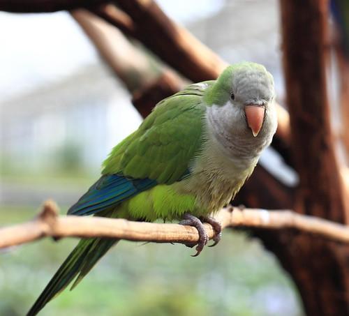 Monk Parakeet / Myiopsitta monachus / 翁鸚哥(オキナインコ)