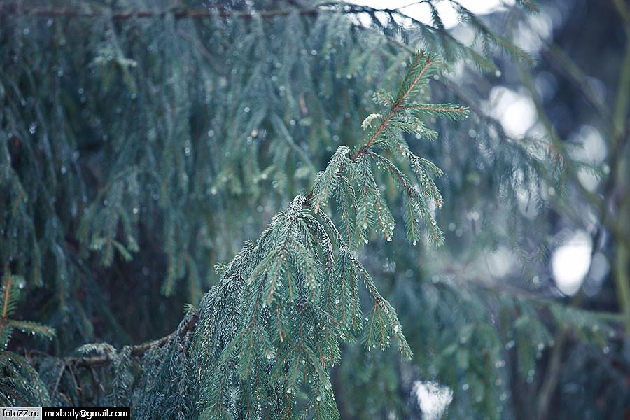 01_fir_tree-[20120108_9385]