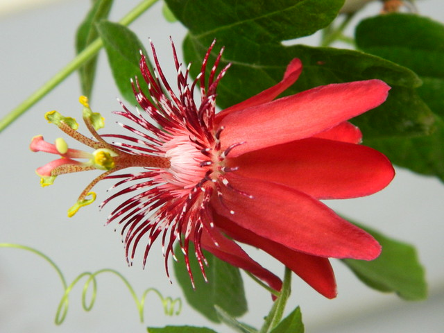 some of my passiflora - Page 3 6718578161_4e45c8531b_z