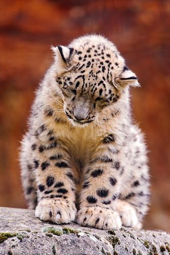 無料写真素材, 動物 , 豹・ヒョウ, 雪豹・ユキヒョウ, 寝顔・寝姿