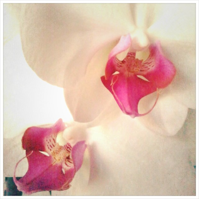 Orquídea de Enero bífida