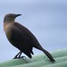 Female Carib Grackle