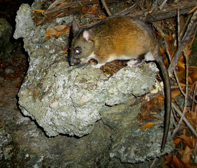 most interesting woodrat in world