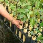 Mahogany seedlings grown in dibble tubes spaced in racks