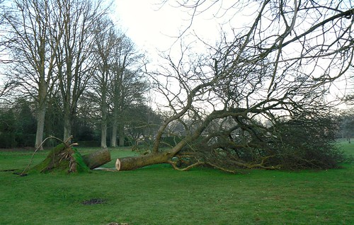 Fallen tree, Beveridge Park, Kirkcaldy