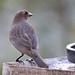 204 Troupials, Meadowlarks, New World Blackbirds ETC