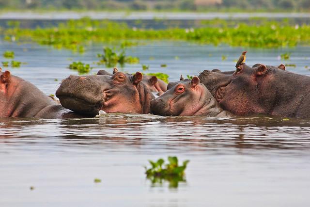 Hipopótamos en el Parque Nacional del Lago Nakuru