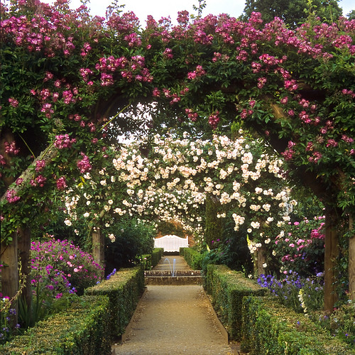 Mottisfont Abbey Rose Garden, Hampshire, UK | An outstanding National Trust historic rose garden (15 of 20) | Rose Veilchenblau and other climbers covering arches and pergolas creating a romantic setting by ukgardenphotos