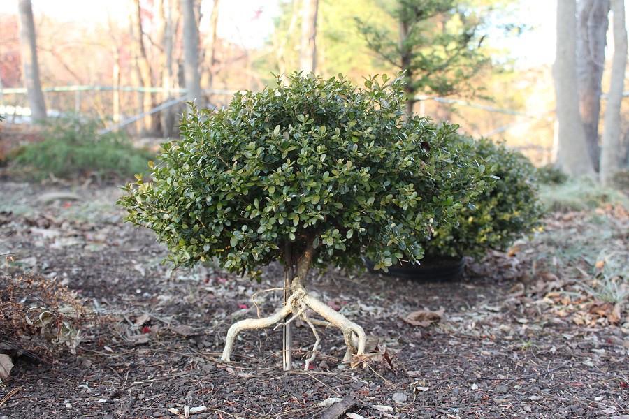 ADRIENNE: Buxus morris midget